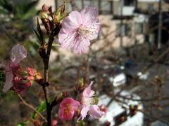 商工会館の河津桜1ヶ月遅れて本日開花