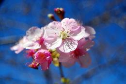 本日、河津桜開花