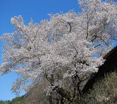 桜,ほぼ満開